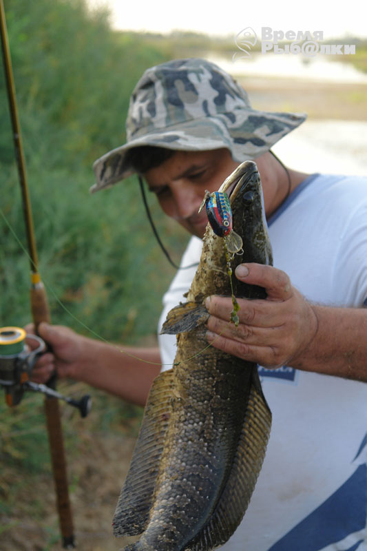 рыбалка змееголов на амуре
